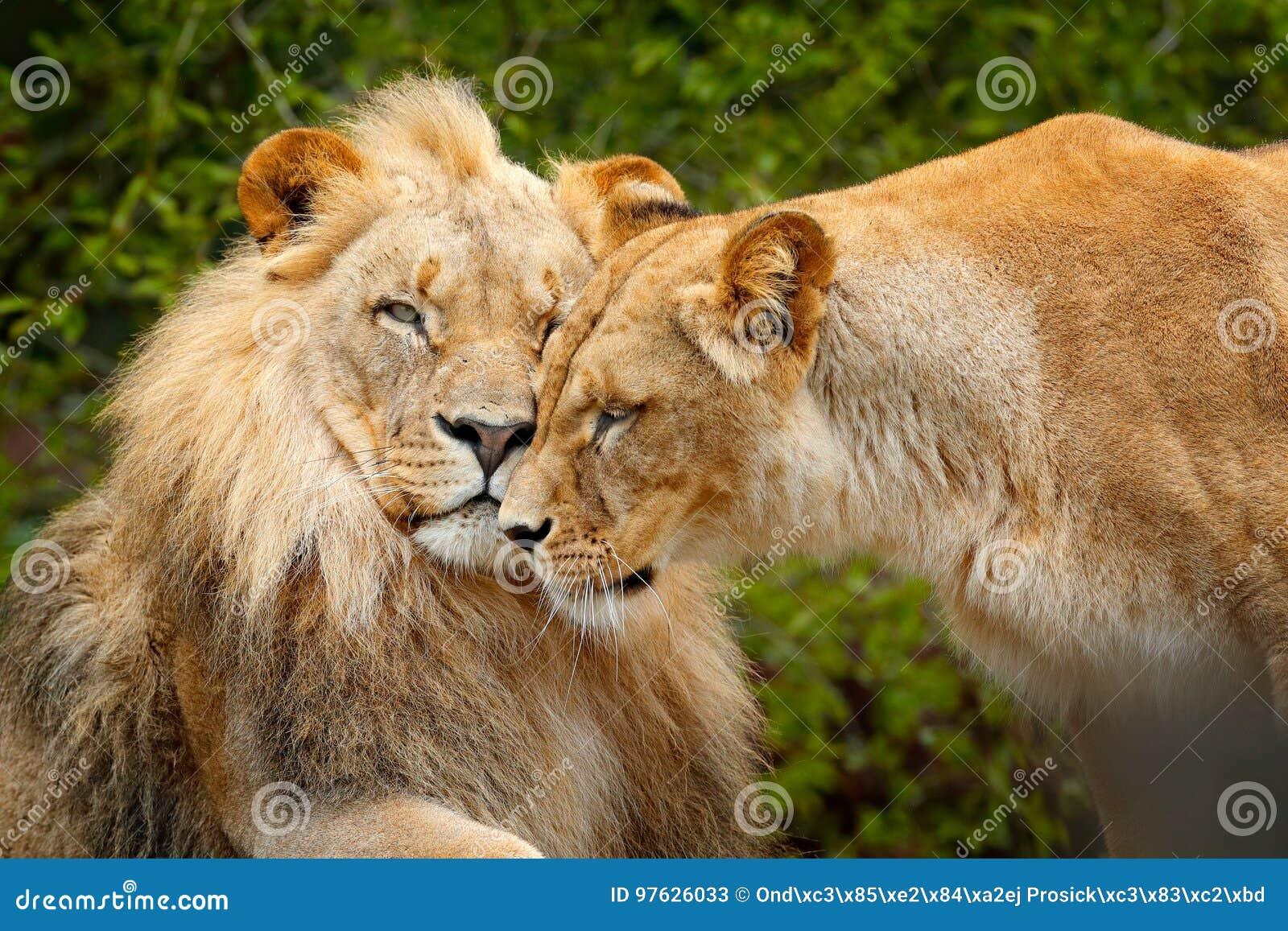 Stående av par av afrikanska lejon, Panthera leo, detalj av det stora djuret, aftonsol, Chobe nationalpark, Botswana, Afrika Katt