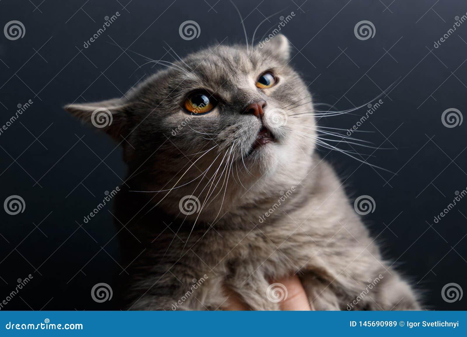 Stående av skotskt rakt för katt