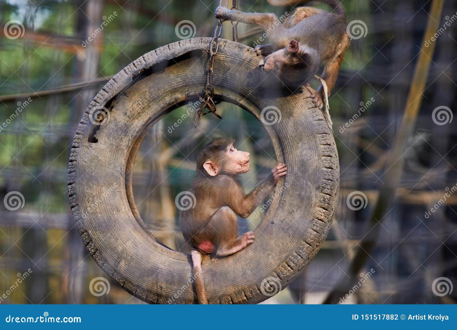 Stående av två unga hamadryas för Hamadryas babianPapio som hoppar på däcket