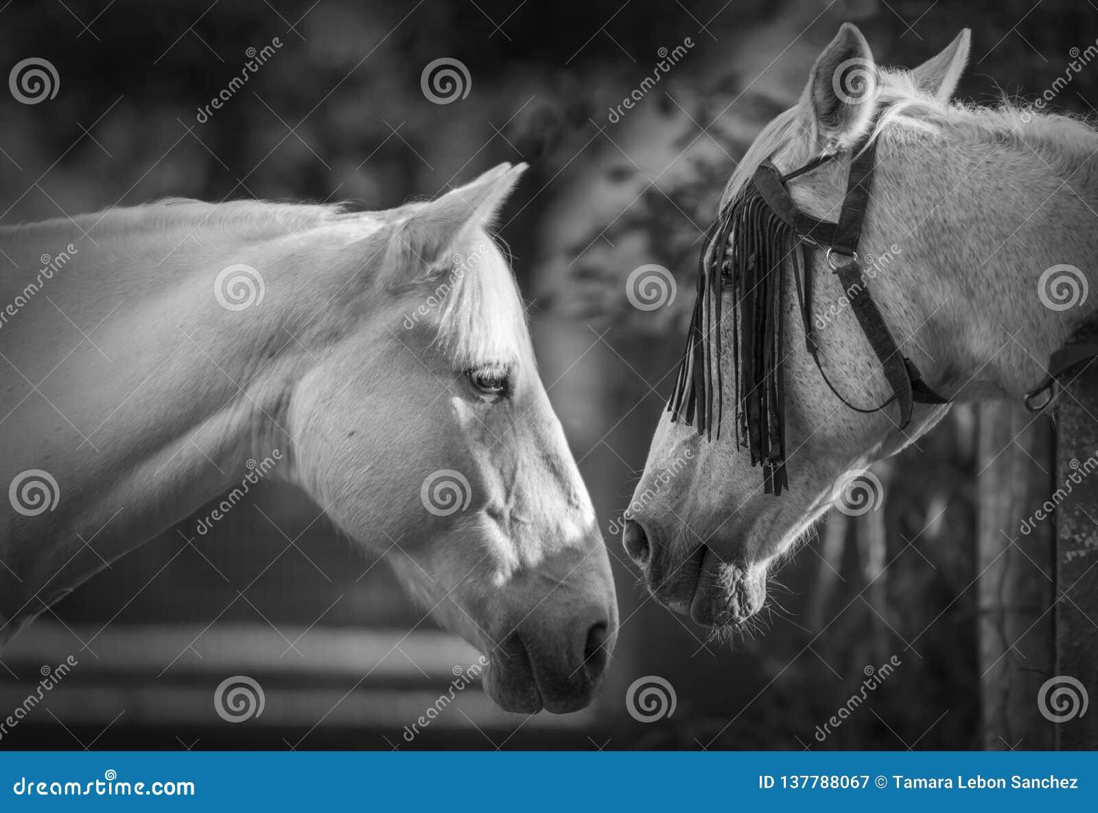 Stående av två vita hästar i svartvitt