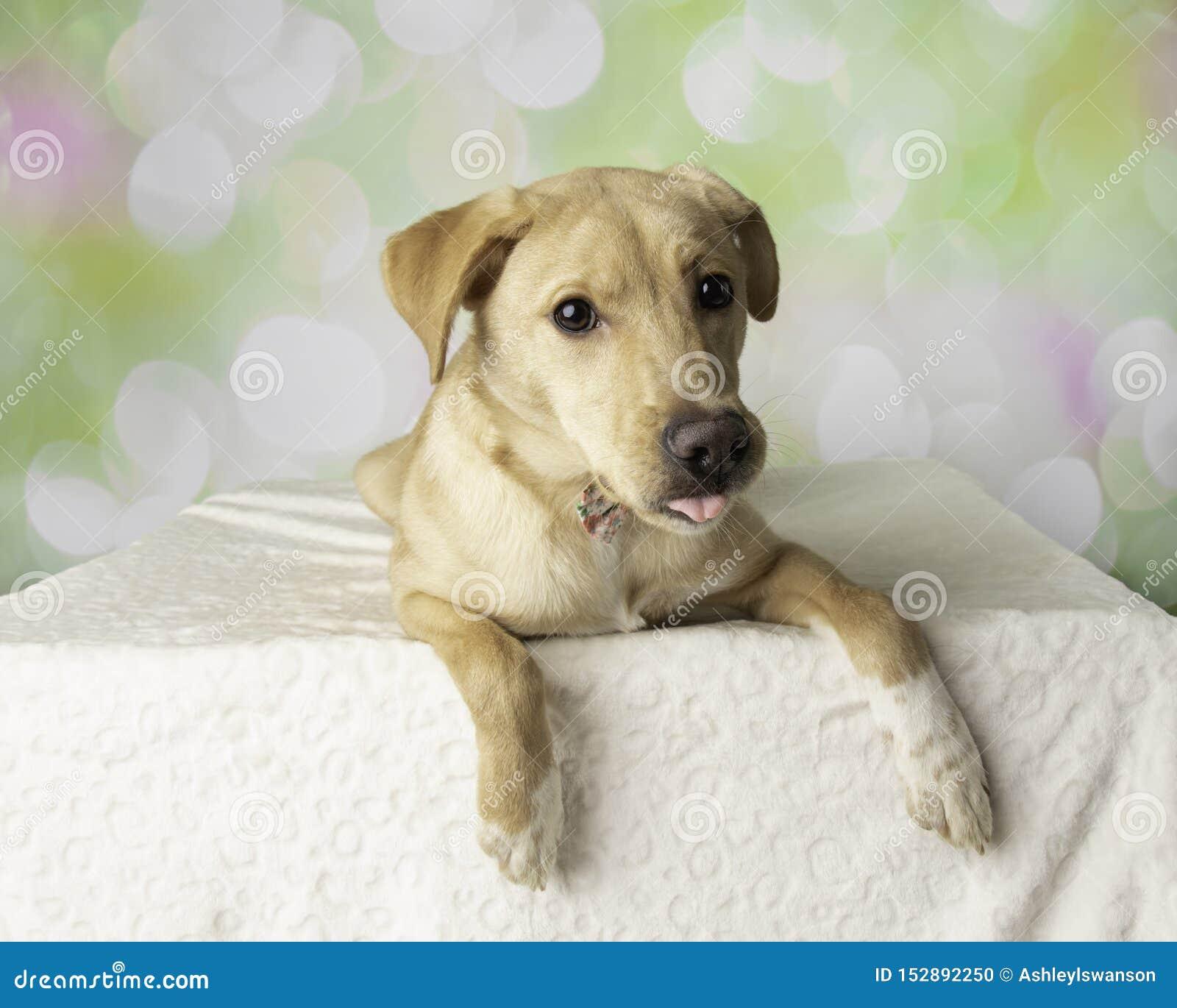 Stående för labradorblandninghund med färgrik bakgrund som ner ligger