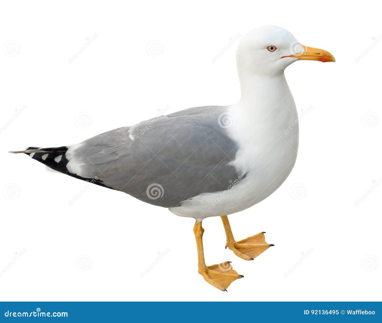 Stående seagull som isoleras på vit