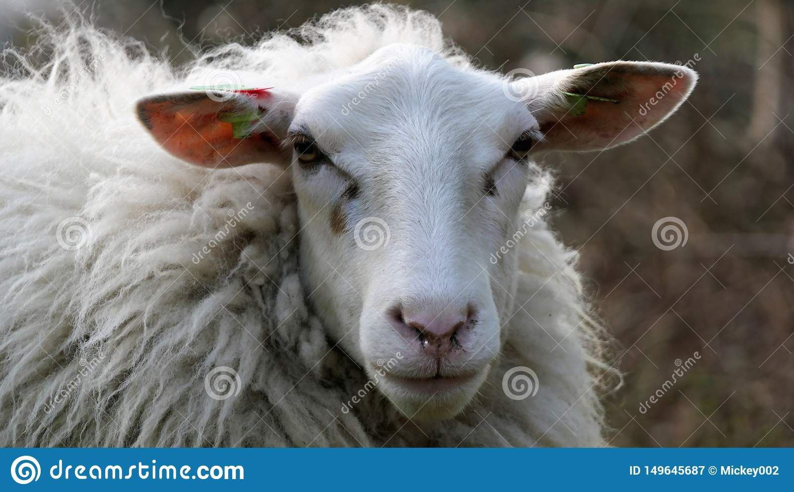 Ståendefrontal för vita får