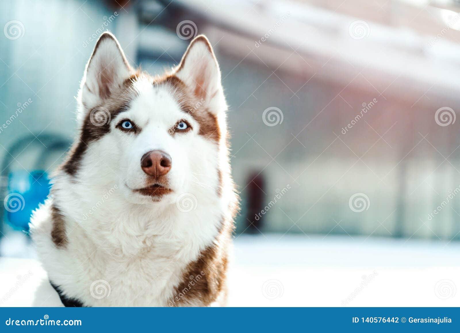 Ståenden av den blått synade härliga Siberian skrovliga hunden på går