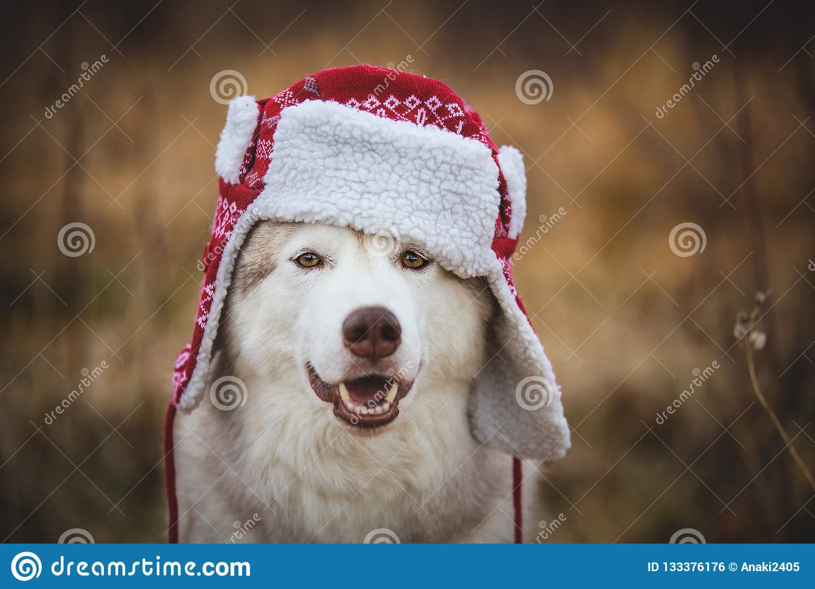 Ståenden av den roliga skrovliga hunden är i varmt lock med öraklaffar Närbildstående av lyckligt skrovligt för hundavelsiberian