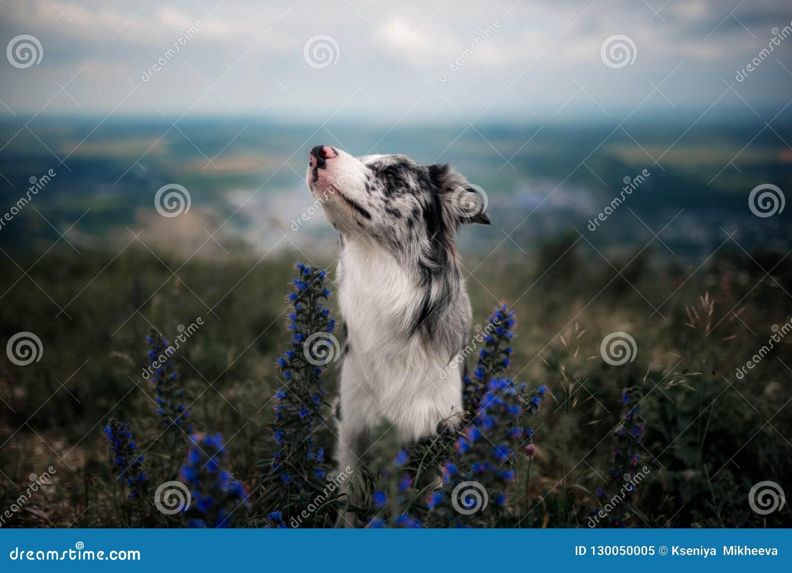 Ståenden vita border collie sitter på bergen i blommor