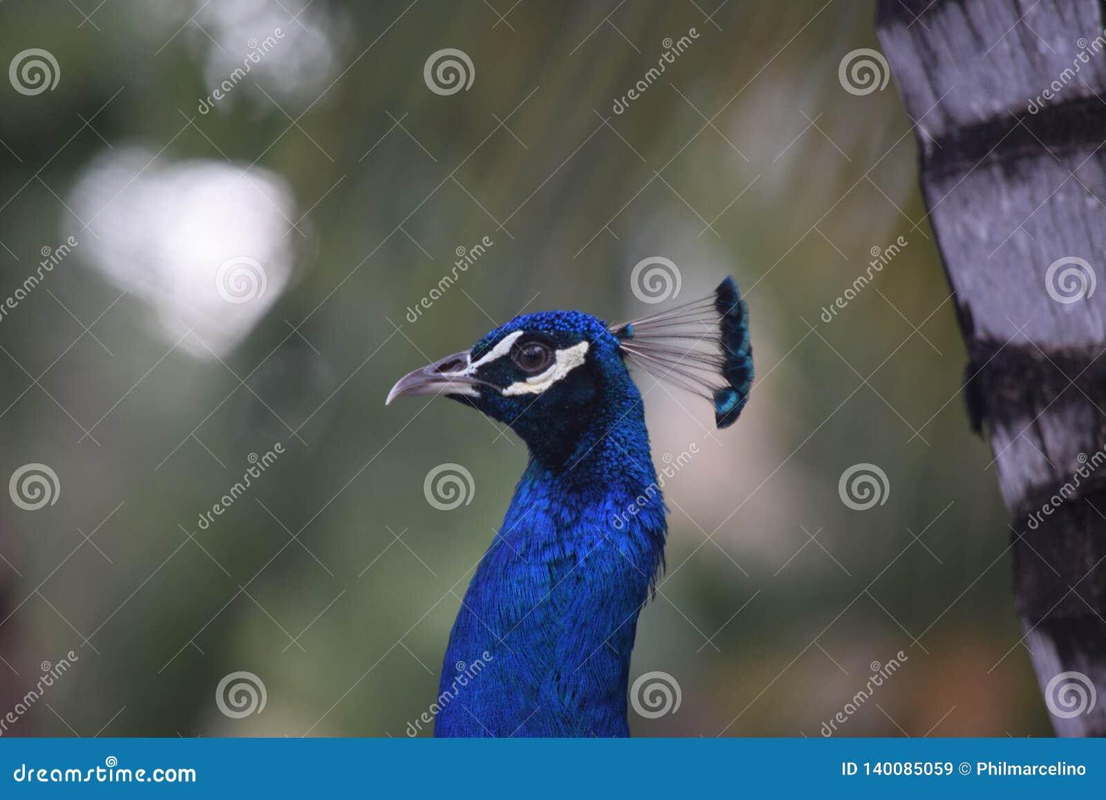 Ståendesikt av en påfågel