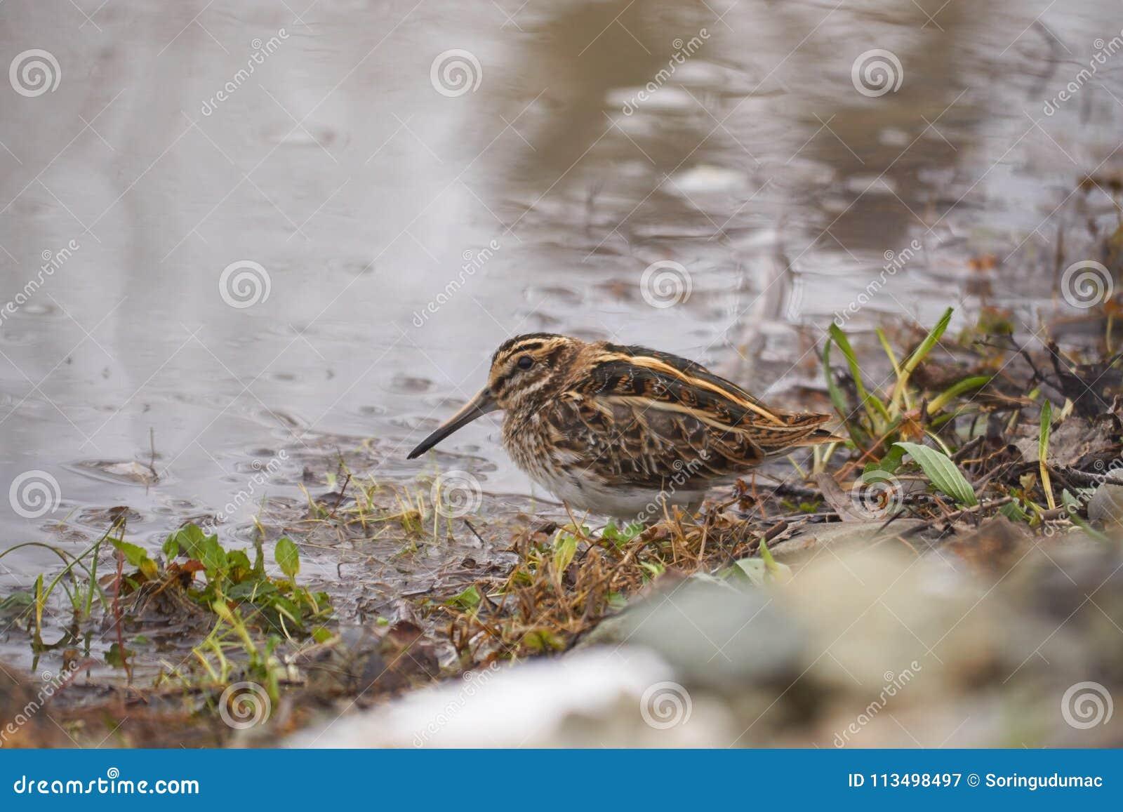 Stålarbeckasin eller den Lymnocryptes minimusen är en utvandrande waterbird