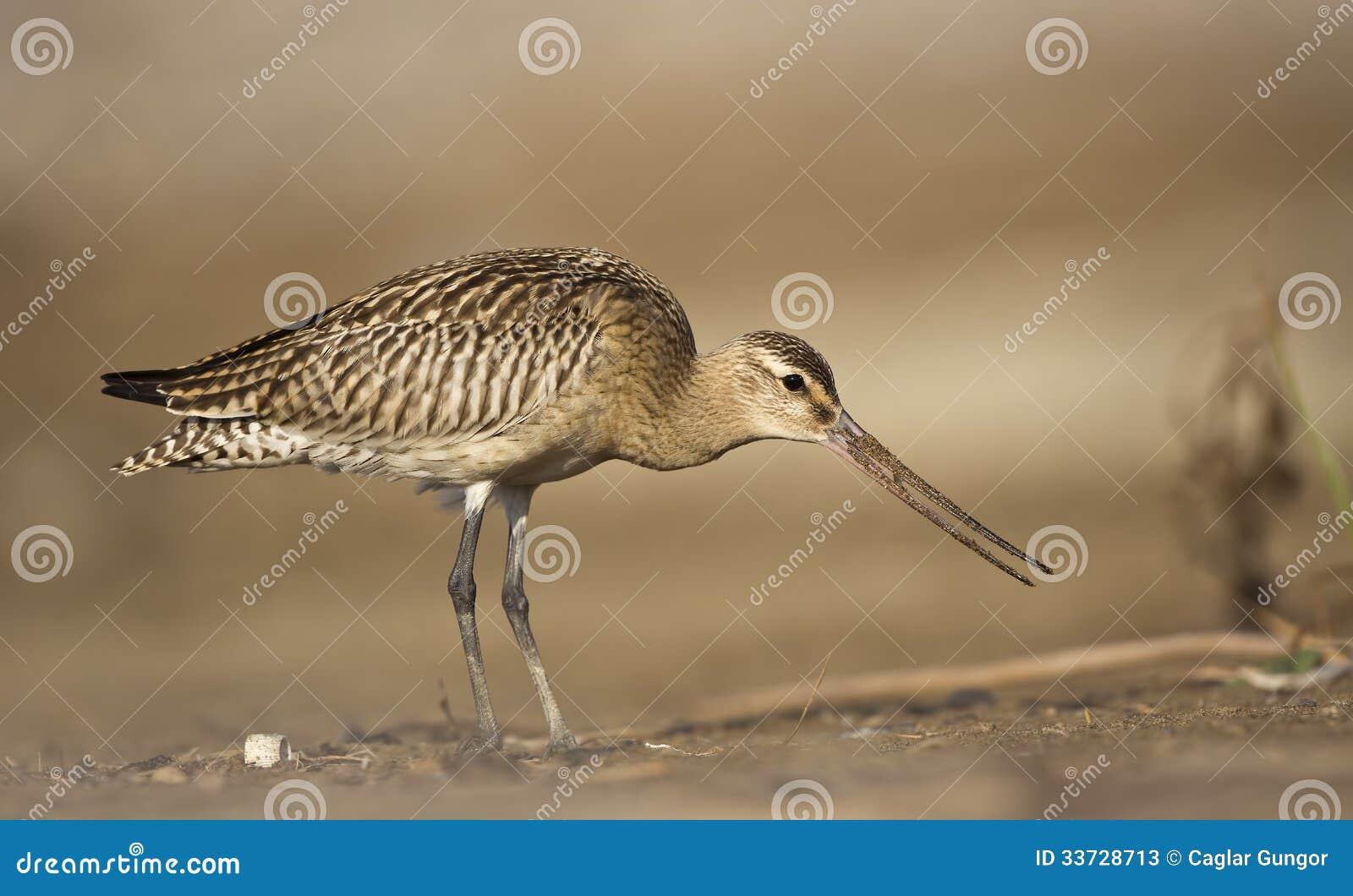 Stång-tailed Godwit