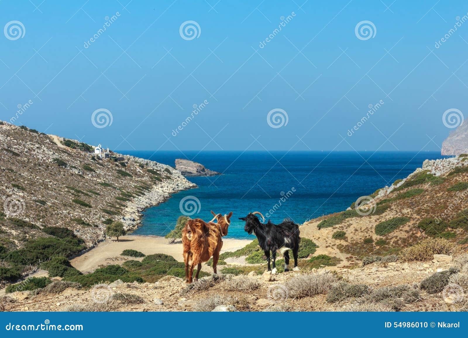 Står svarta och röda getter för hemhjälp på drylanden betar och slösar havsbakgrund på den Kalymnos ön i Grekland