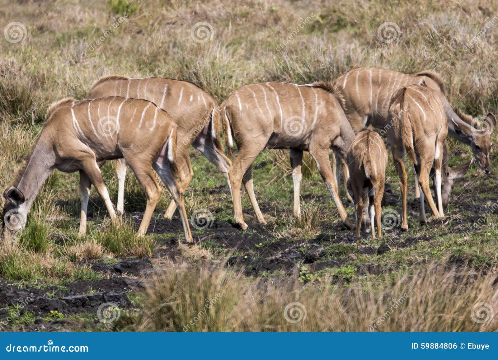 Större Kudu flock