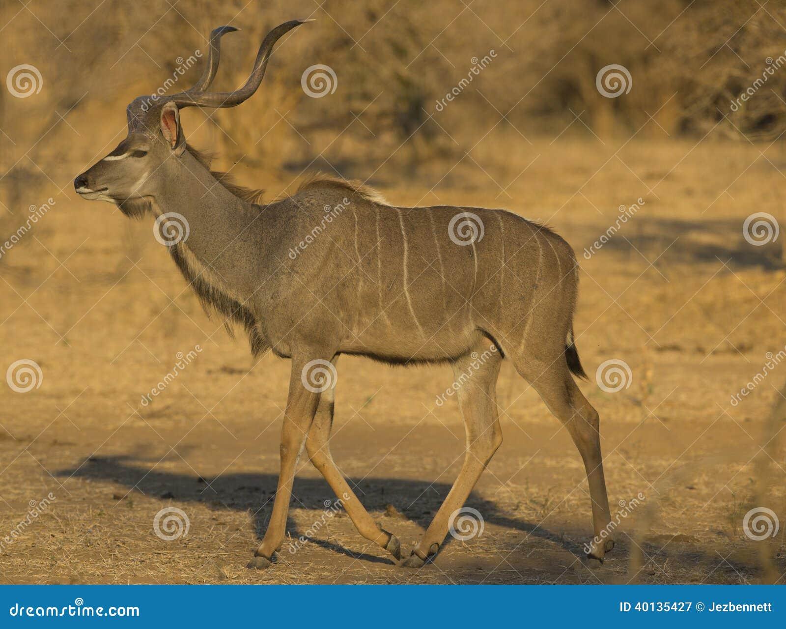 Större Kudu (Tragelaphusstrepsiceros) gå