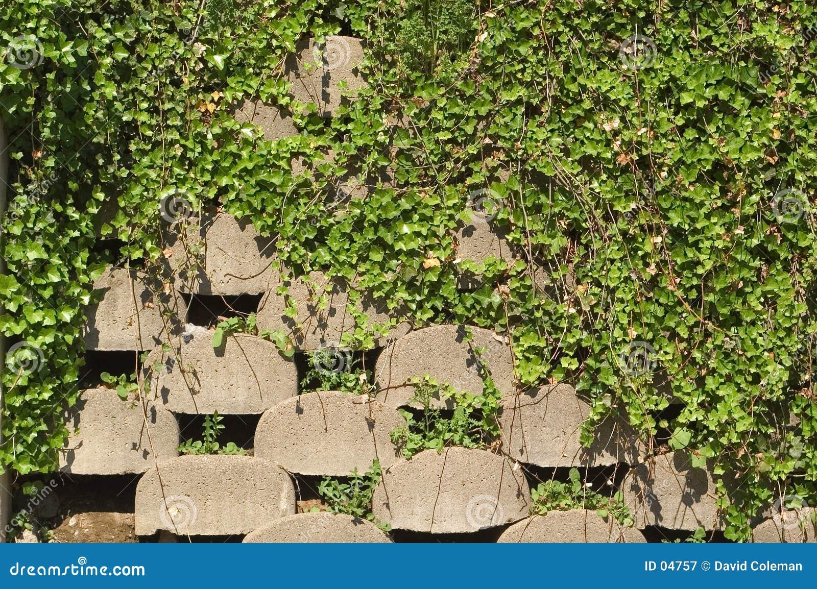 Stützmauer mit Efeu