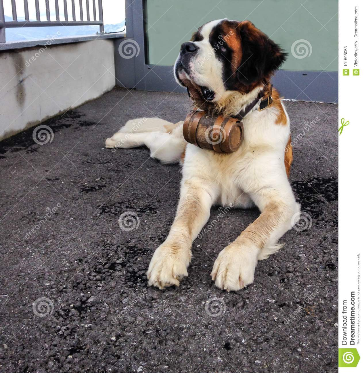 St Bernard Dog With The Iconic Barrel St Bernard Is A
