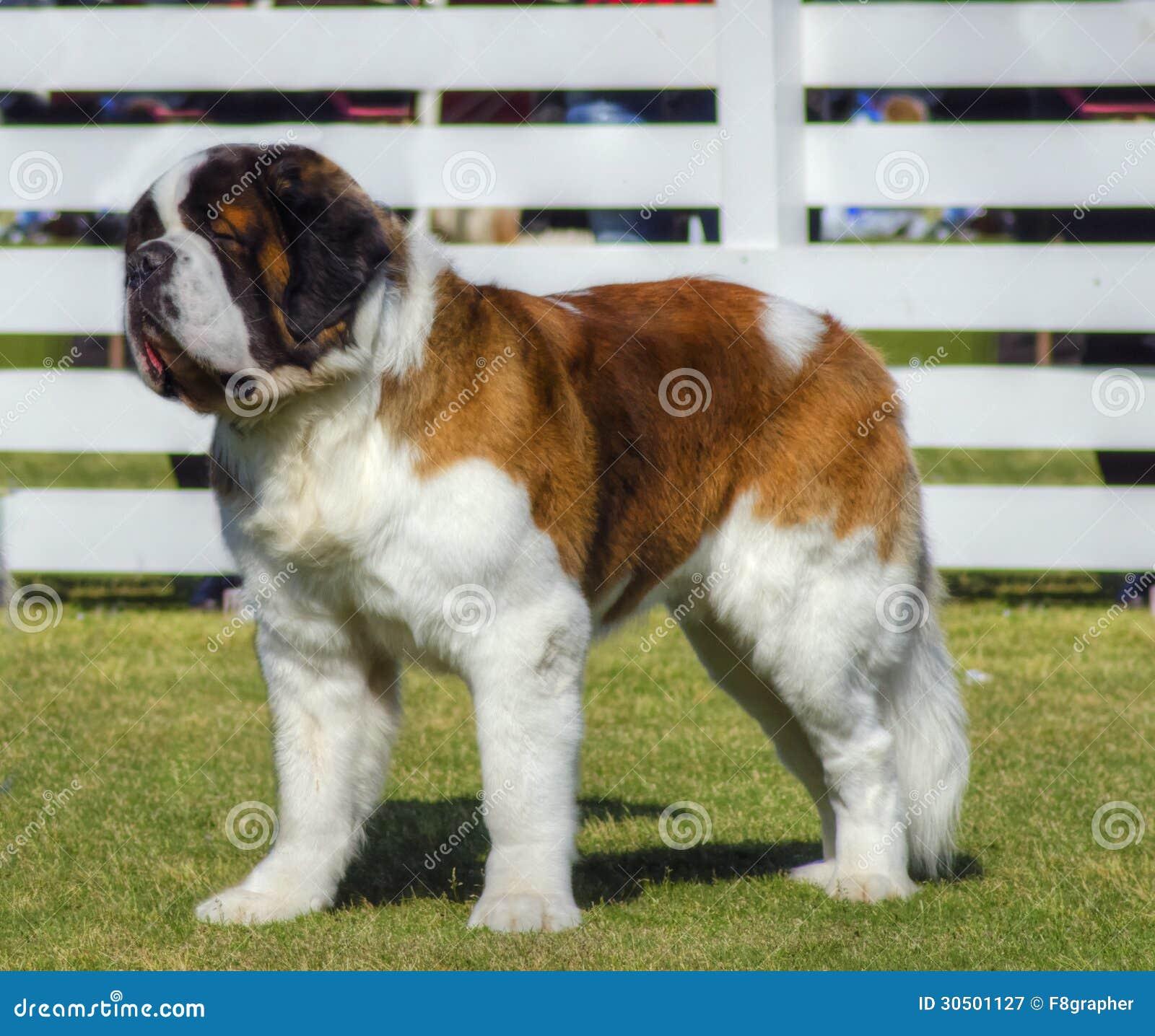 St  Bernard dog stock image  Image of lawn, brown, intelligent