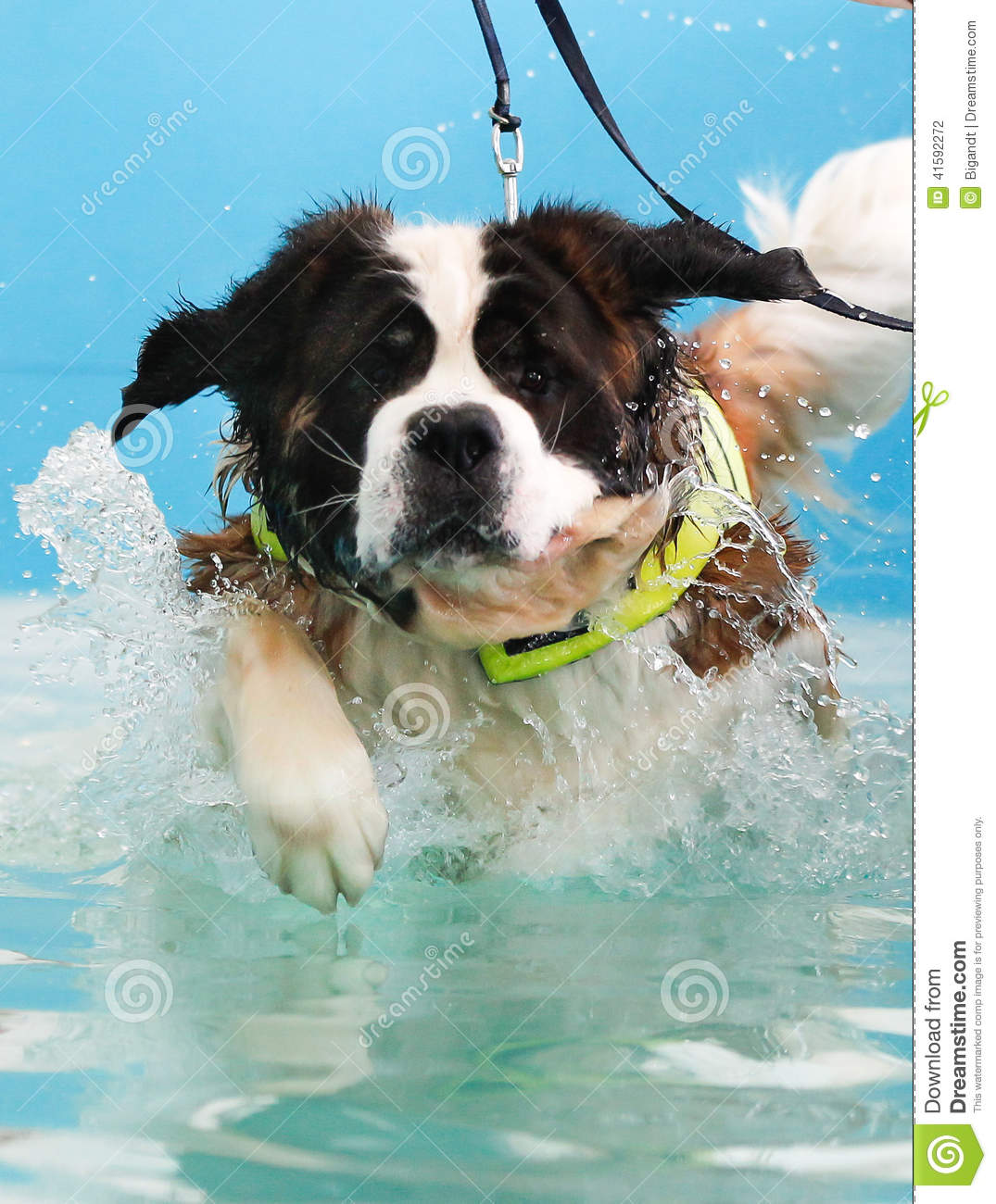 st bernard dog taking a swim stock photo image 41592272
