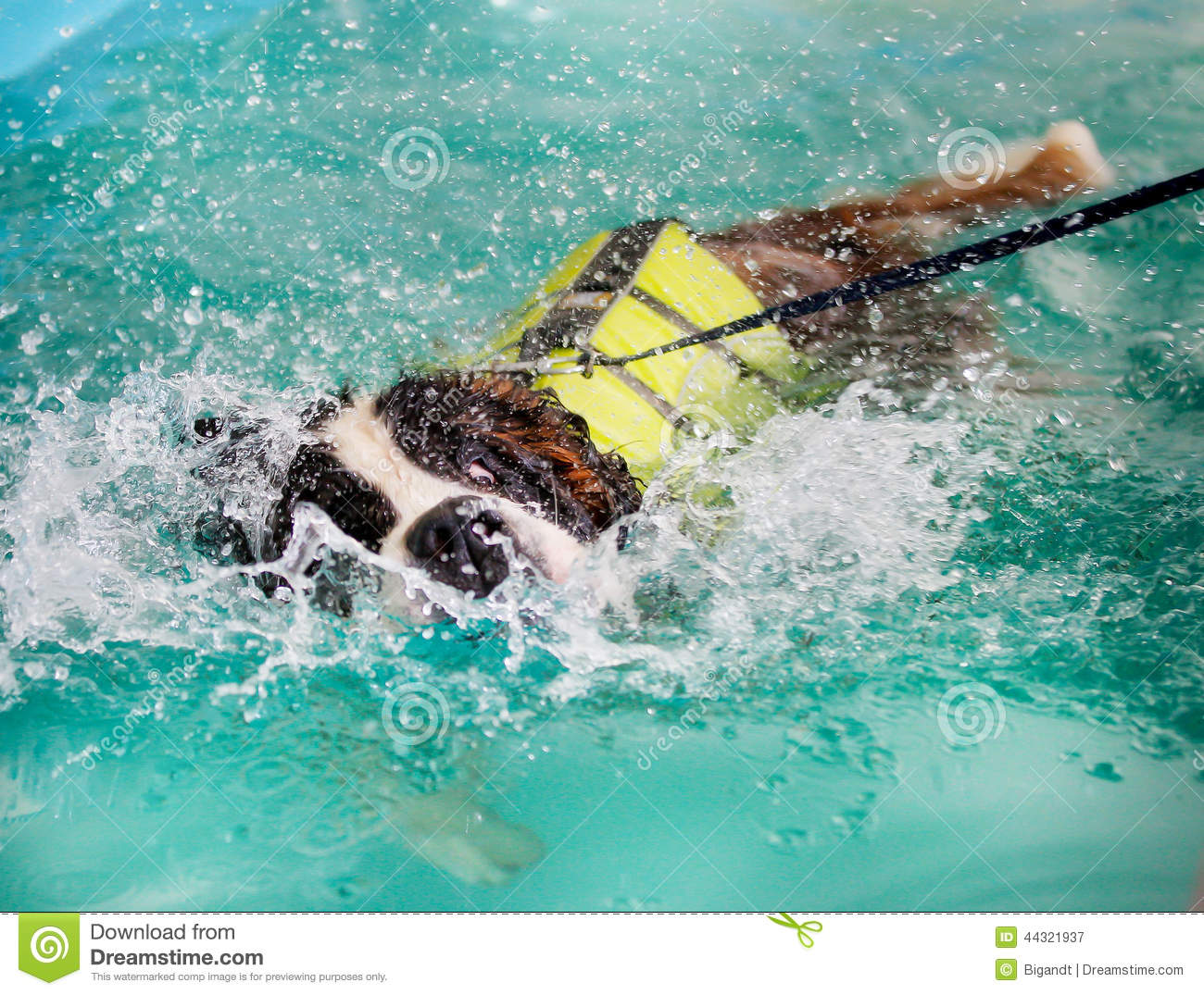 st bernard dog taking a swim stock image image of pool heavy 44321937