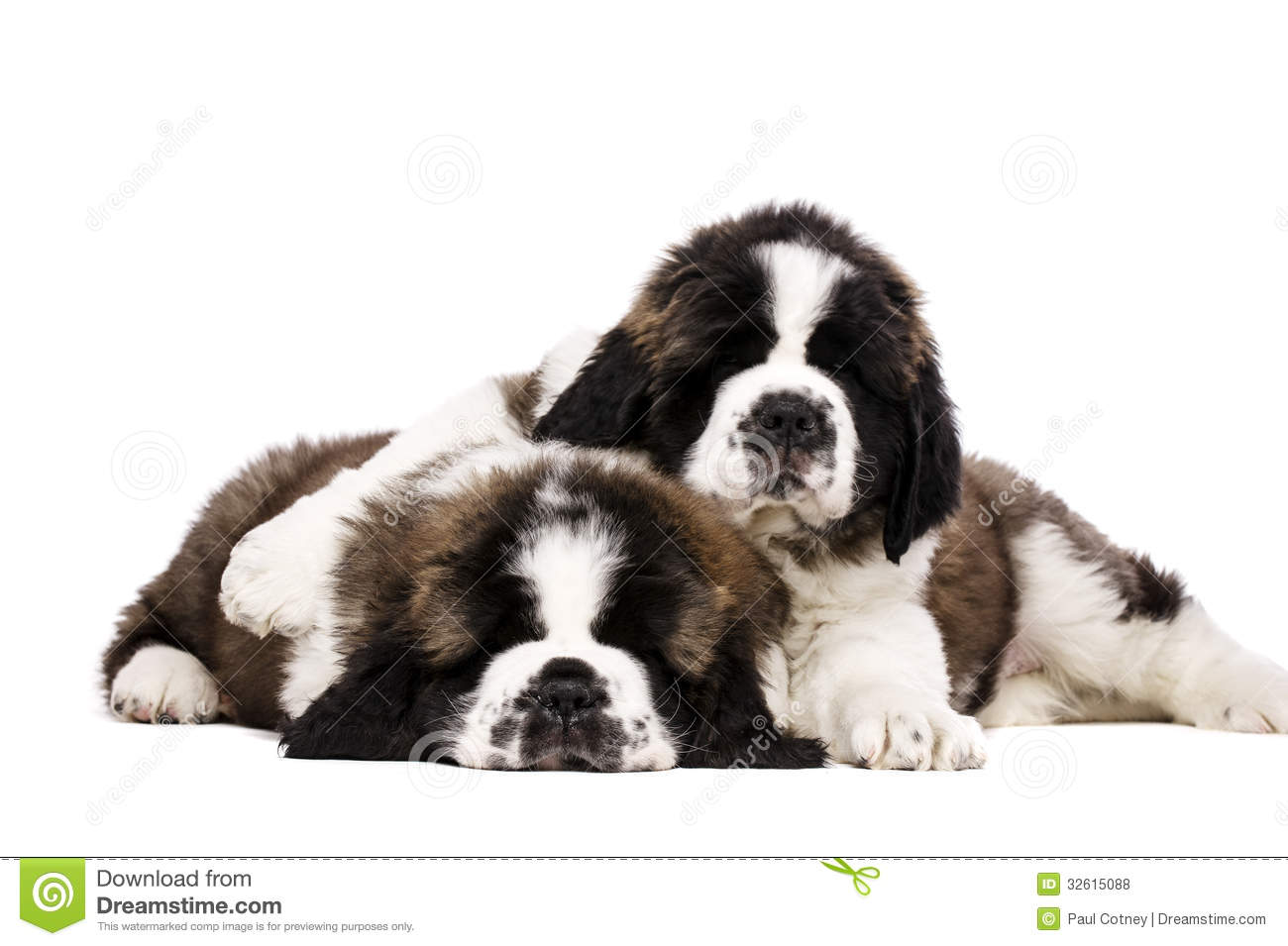 St Bernard Puppies Isolated On White Stock Photo Image