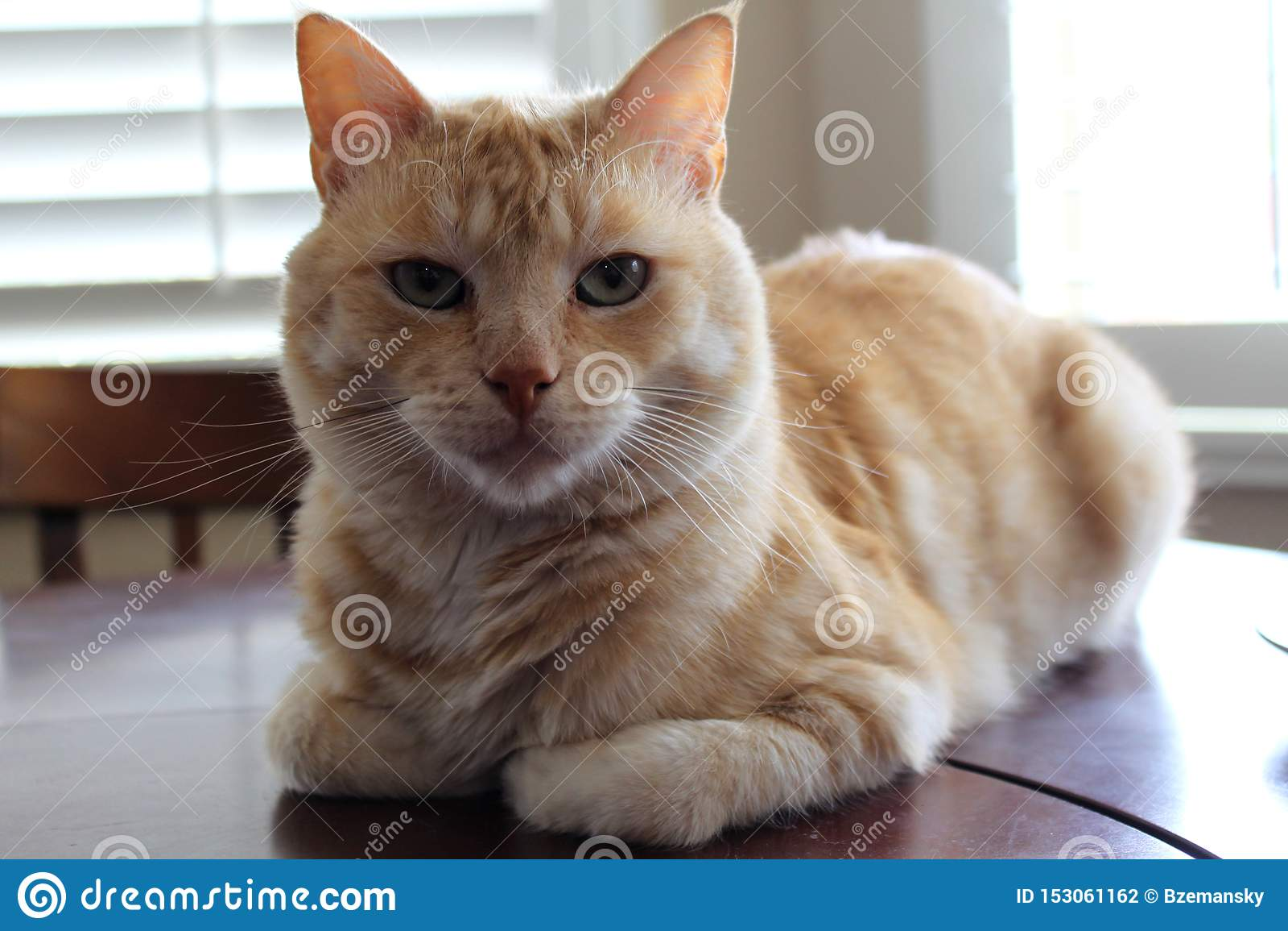 St?ende av den orange och vita katten