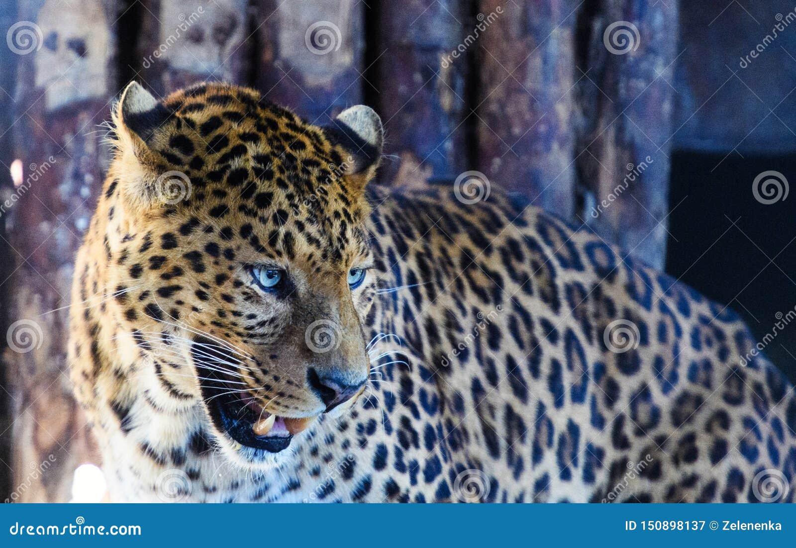 St?ende av en h?rlig leopard