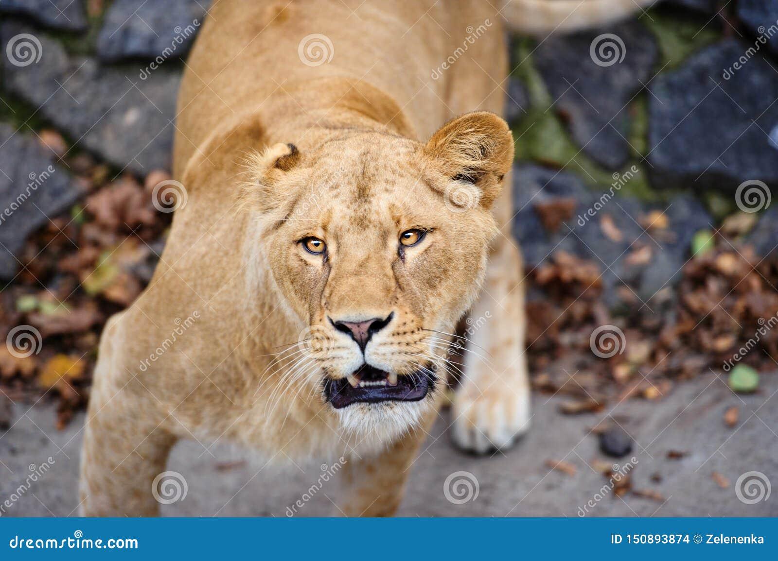 St?ende av en lioness