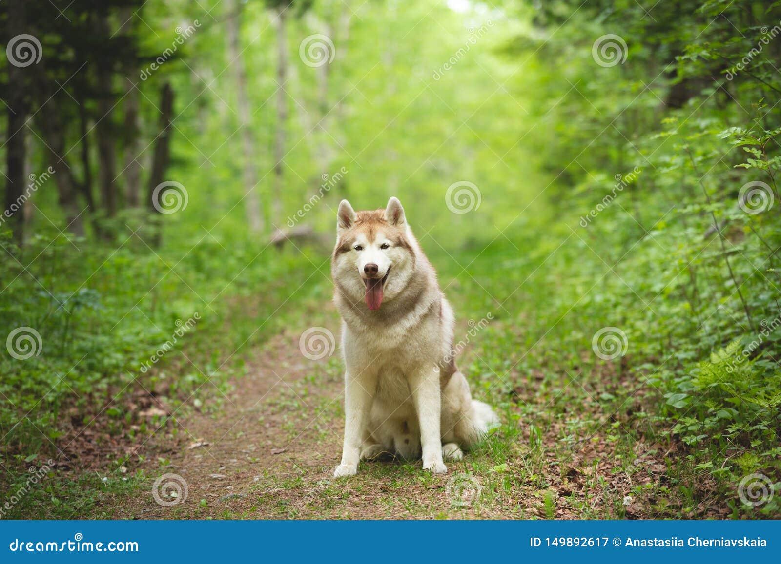 St?ende av ?lskv?rt och h?rligt skrovligt sitta f?r hundavelsiberian i det ljust - gr?n skog