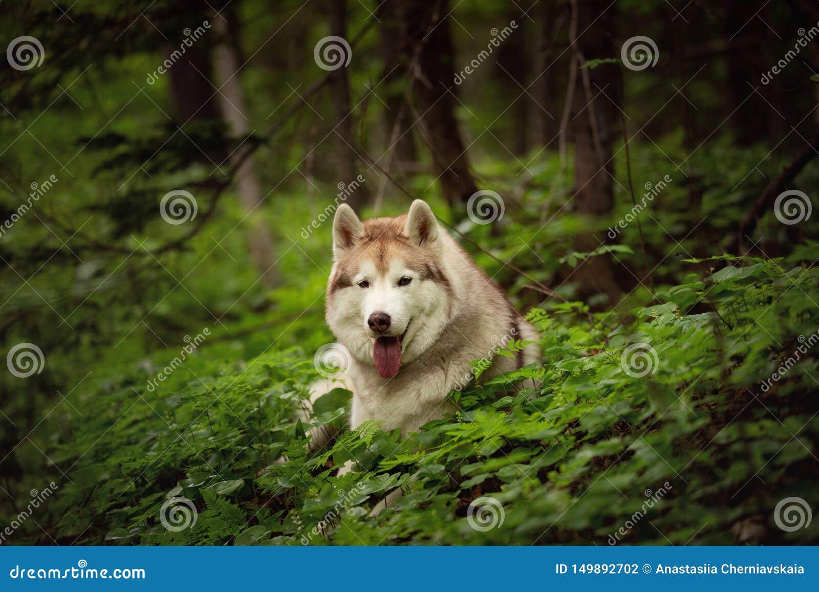 St?ende av lyckligt och h?rligt skrovligt ligga f?r hundavelsiberian i den gr?na skogen