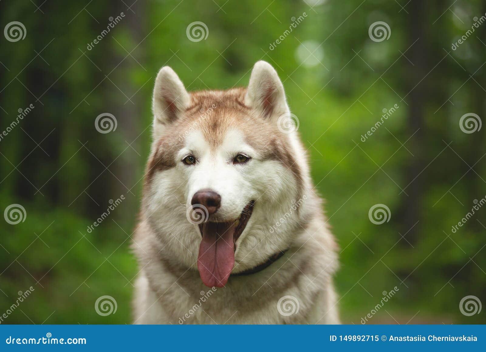 St?ende av siberian skrovligt sammantr?de f?r fri och h?rlig hundavel i den gr?na skogen