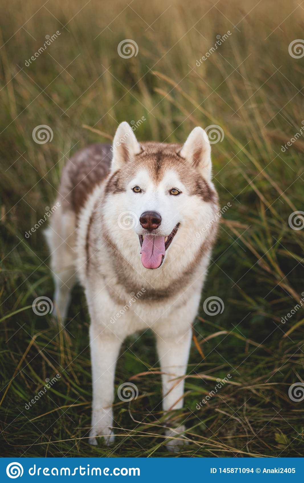 St?enden av den fria siberian skrovliga hunden med brunt synar anseende i r?gen p? solnedg?ngen