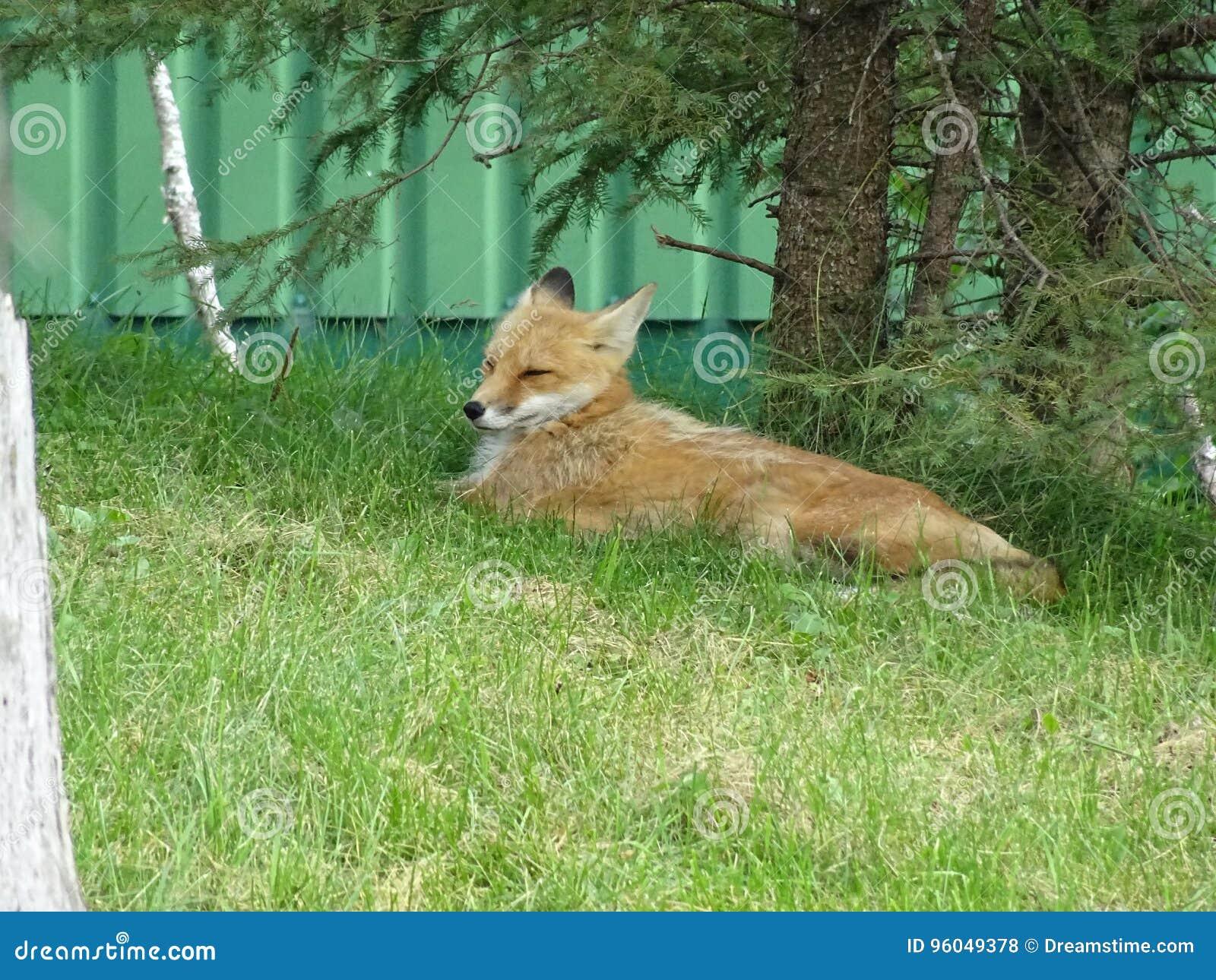 St Felicien do jardim zoológico: uma raposa vermelha