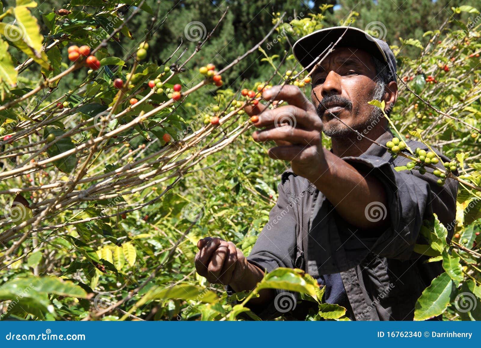 st helena coffee farmer picking ripe cherry beans stock