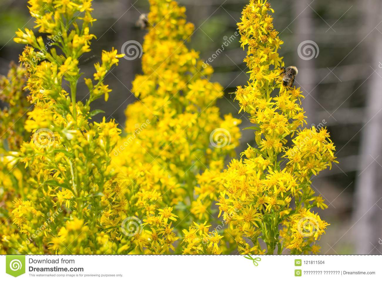 St Johns Wort Is A Yellow Healing Flower Stock Photo Image Of