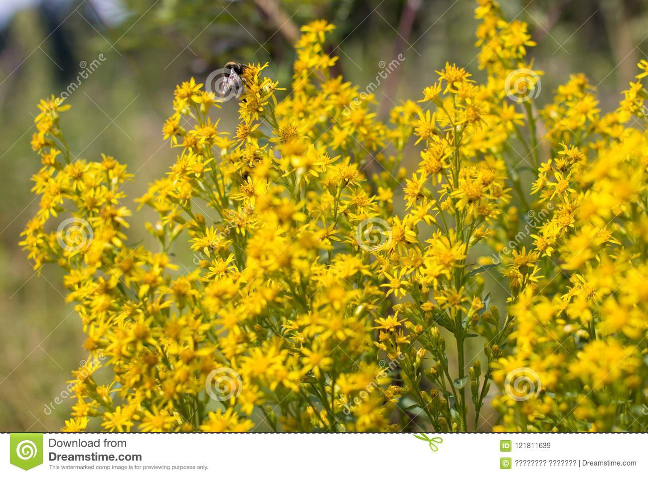 St Johns Wort Is A Yellow Healing Flower Stock Image Image Of