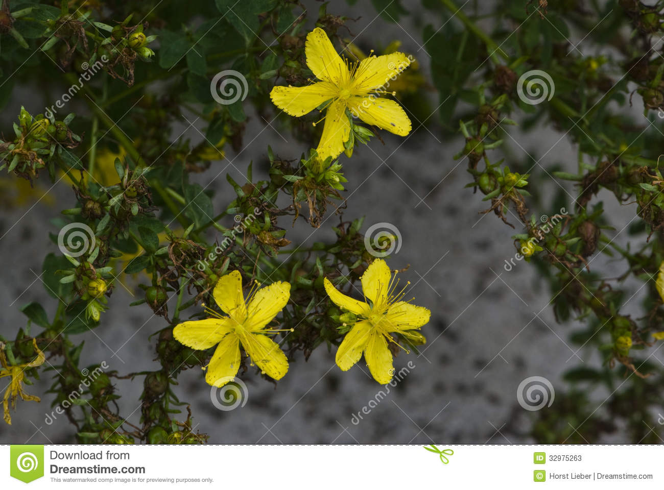 The medical uses of the hypericum perforatum stjohns wort