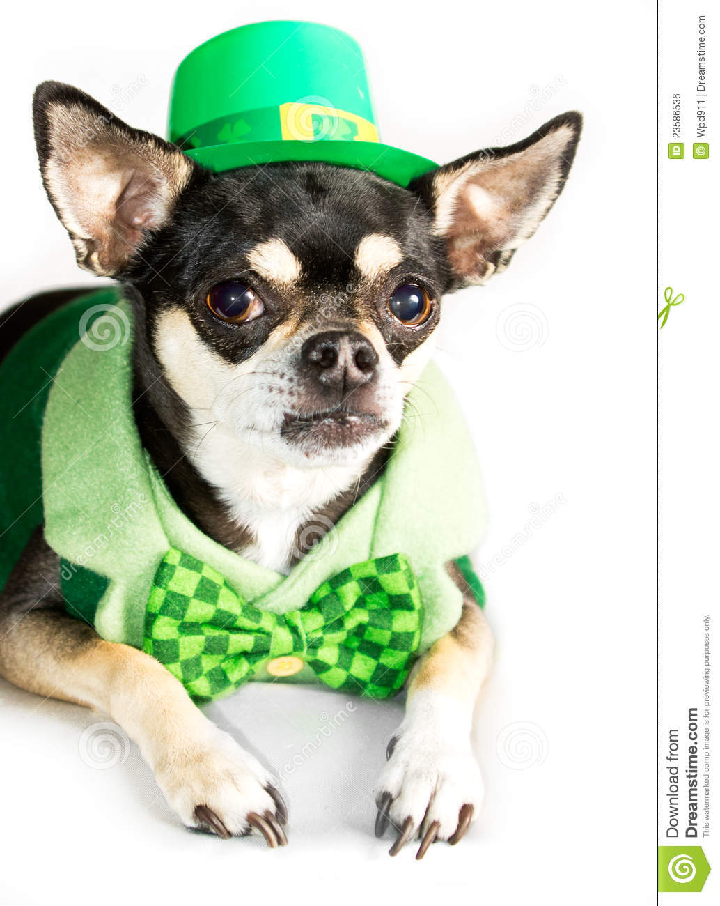 st patrick u0027s day chihuahua dog on white royalty free stock image