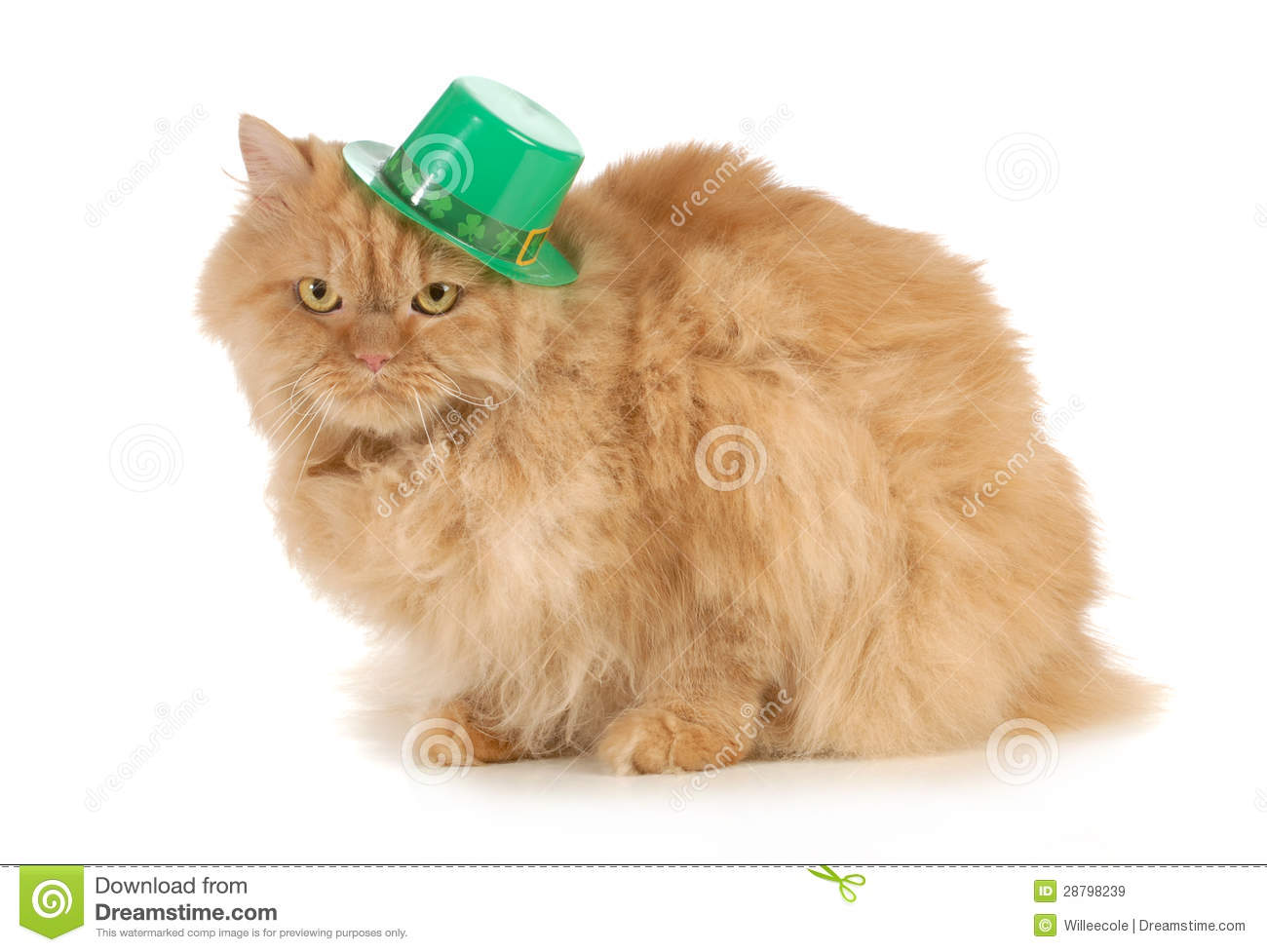 St Patricks Day cat looking at viewer isolated on white background.