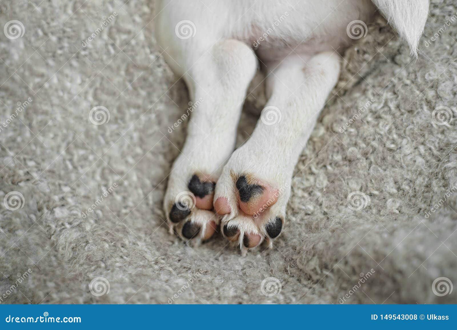 Staart, poten, leuke puppyhond op woldeken