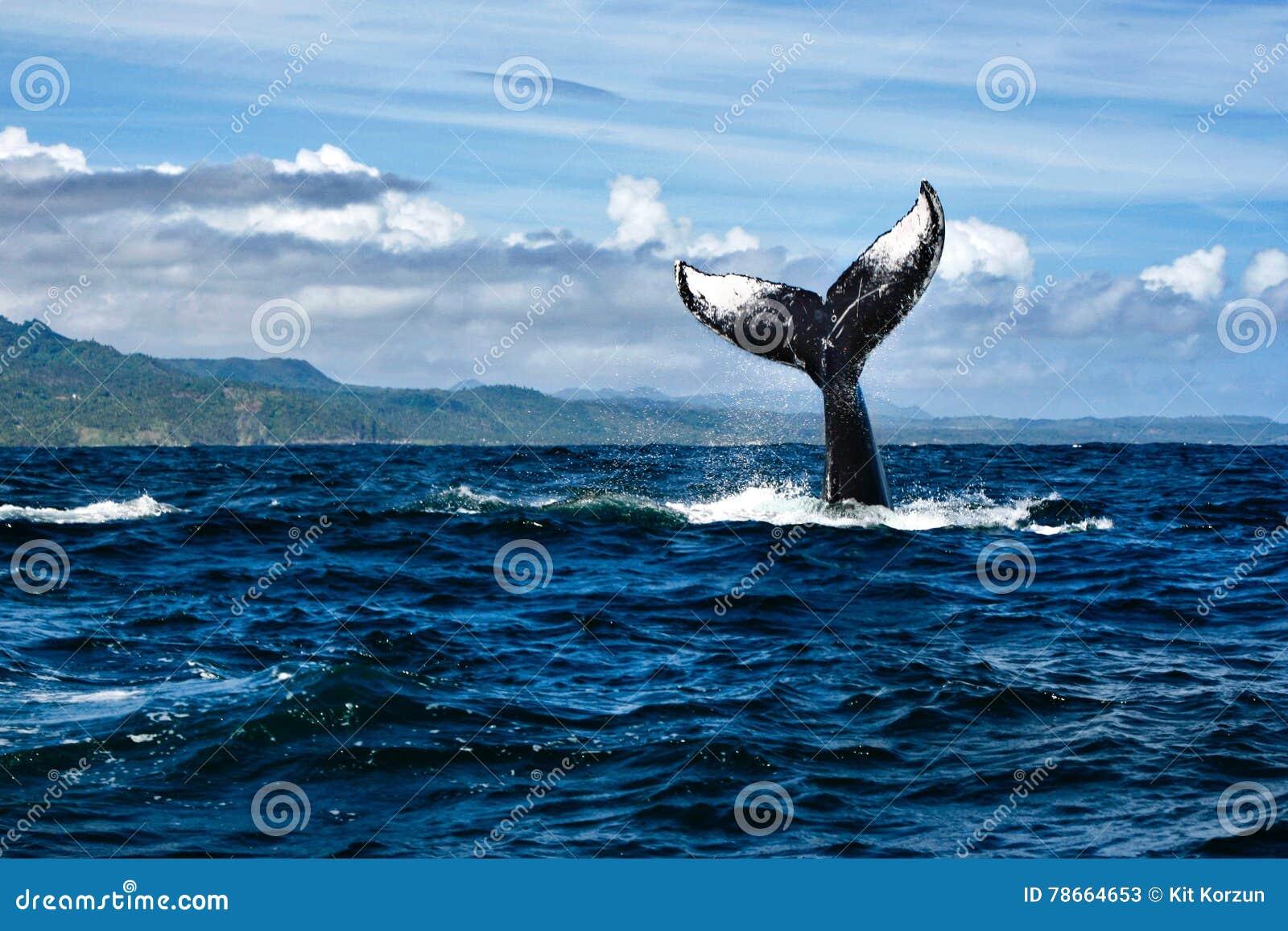 Staart van Gebocheldewalvis