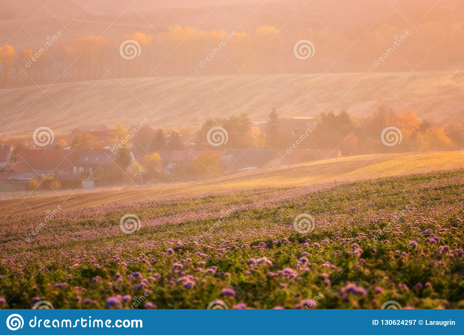 Stabilimento accogliente circondato dai campi agricoli soleggiati, fiori porpora di phacelia, bello paesaggio della campagna alla