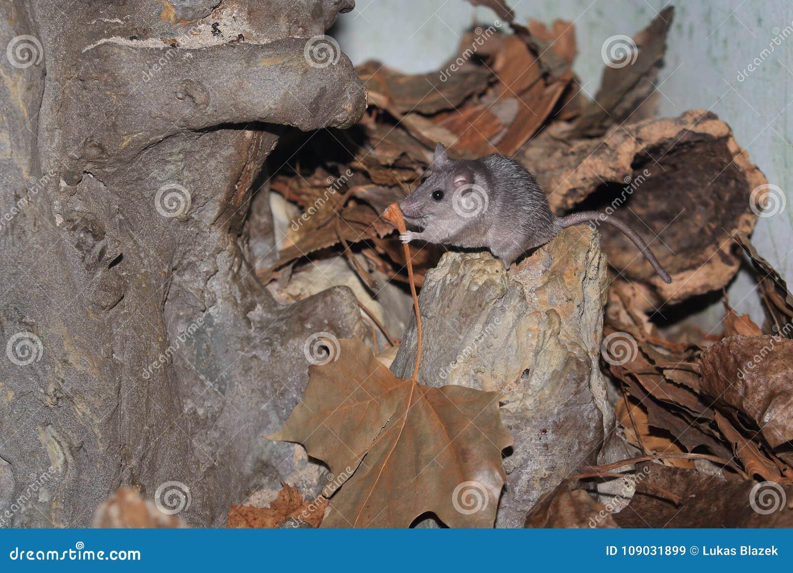 Stachelige Maus Tibesti