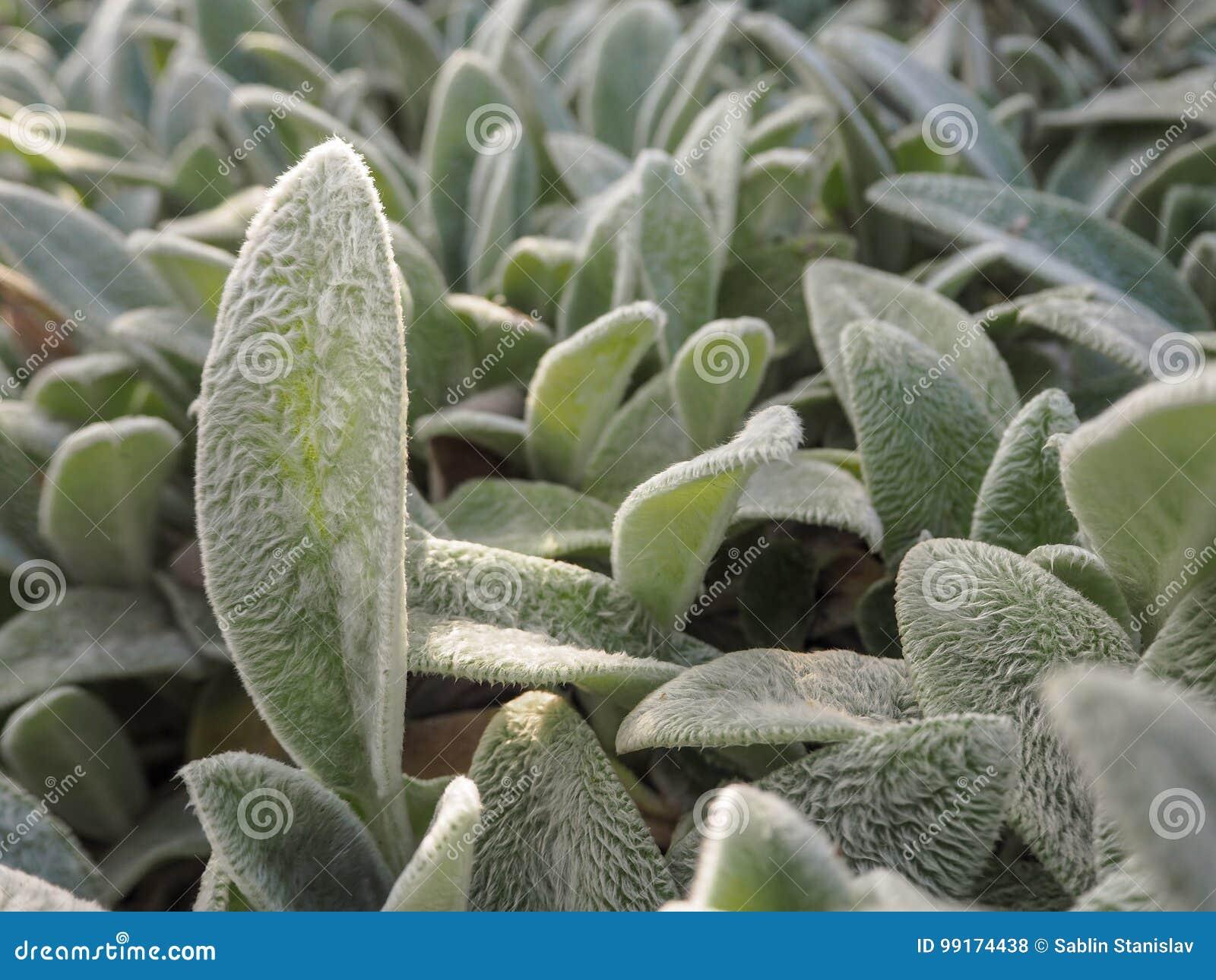 Pianta Orecchie Di Agnello stachys il contesto naturale dello stachys delle piante