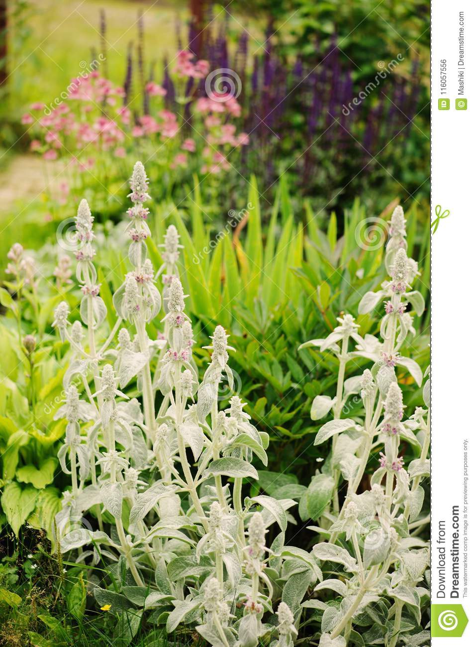 Stachys lamb ears planted in flowerbed with other blooming download stachys lamb ears planted in flowerbed with other blooming perennials stock photo image of mightylinksfo