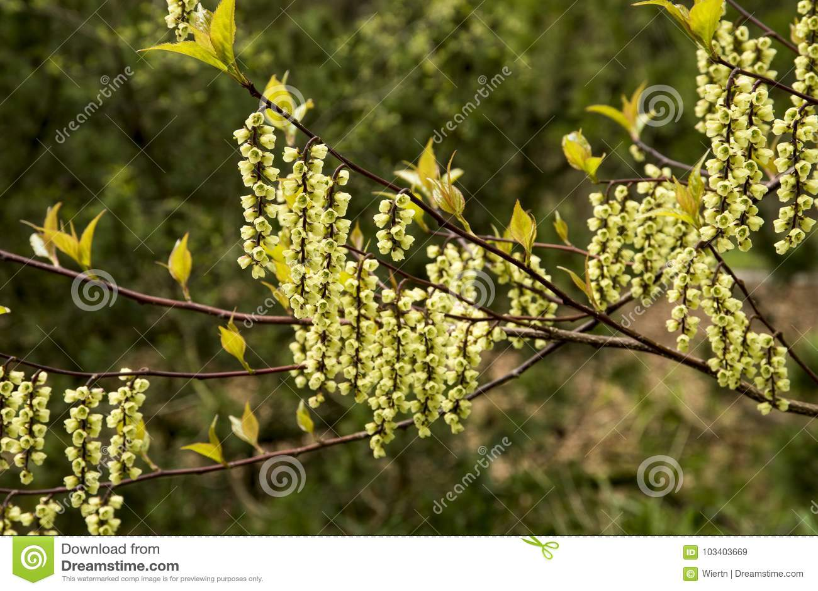 Stachyurus Chinensis Stock Image Image Of Flowers Hanging 103403669