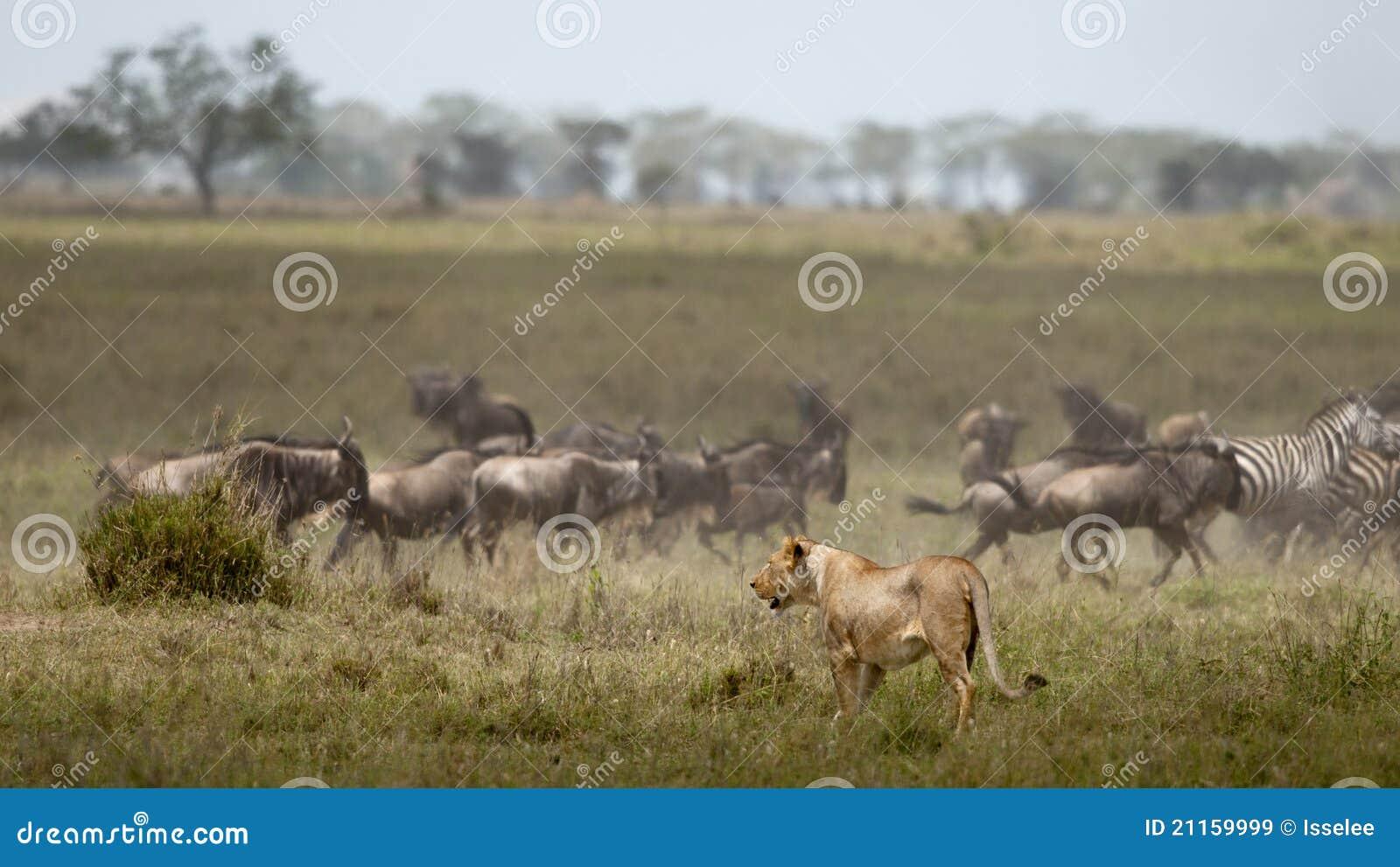 Stada lwicy serengeti wildebeest