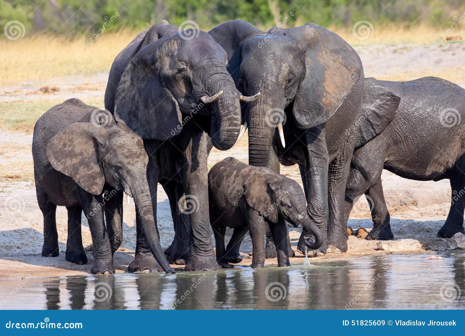 Stado Afrykańscy słonie przy waterhole w Hwange parku narodowym, Zimbabwe