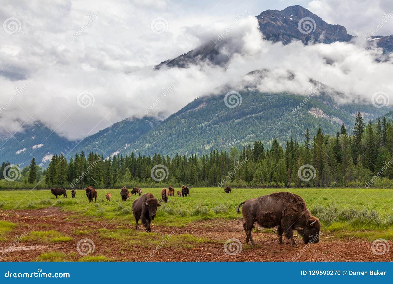 Stado Amerykański żubr lub bizon Z Halnym tłem