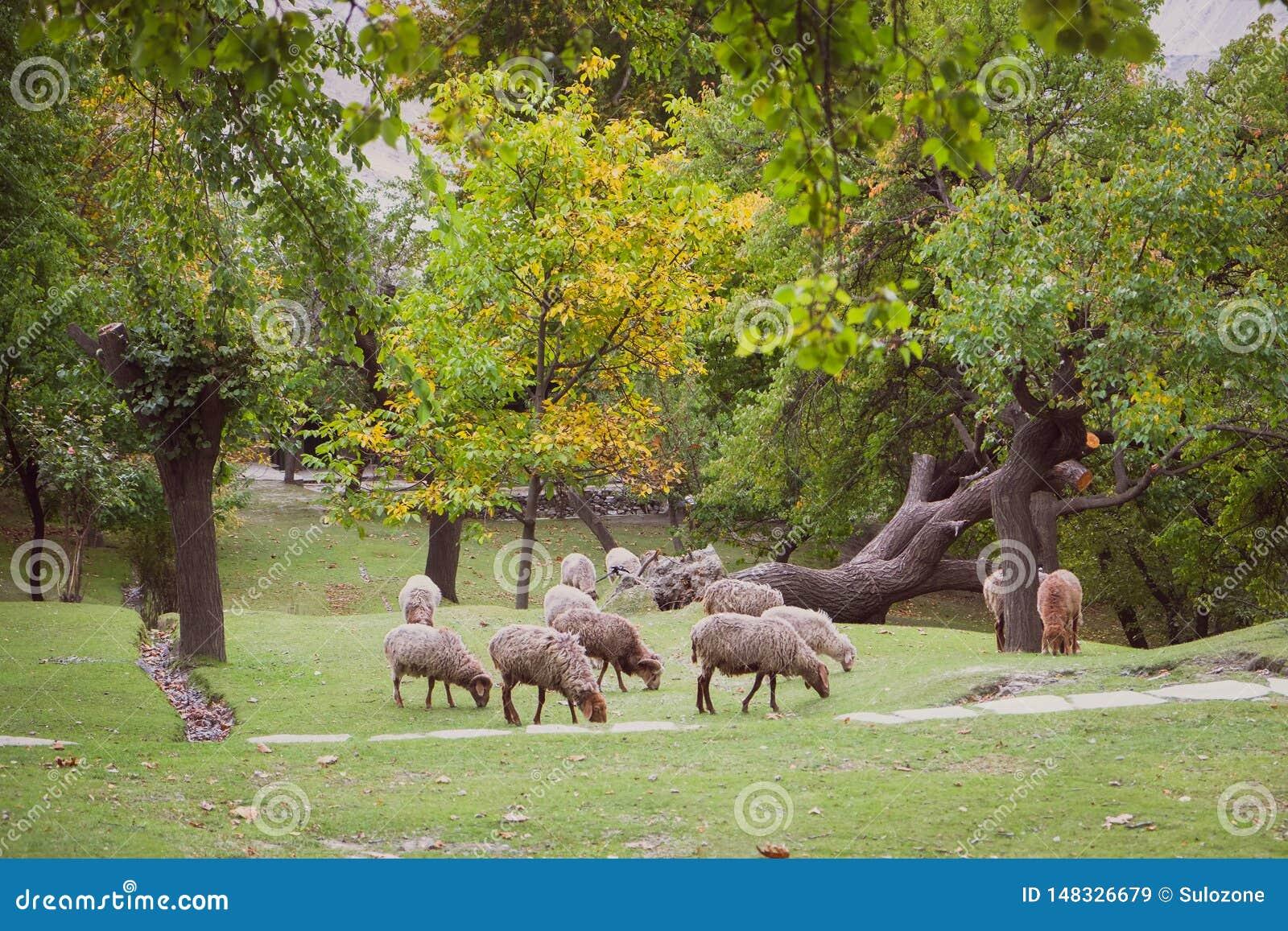 Stado barani pasanie na bujny zieleni gazonie