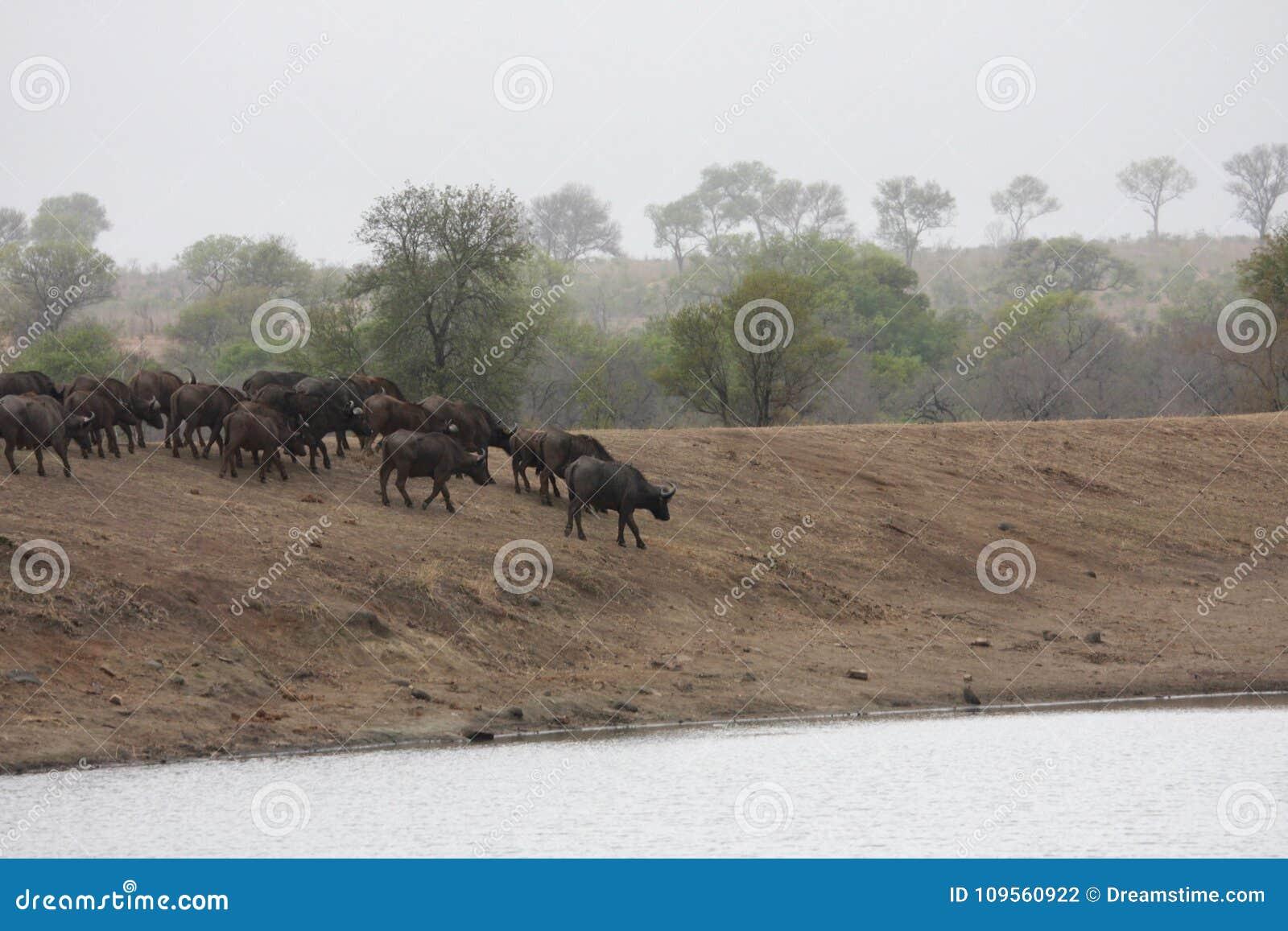 Stado bizony iść nawadniać