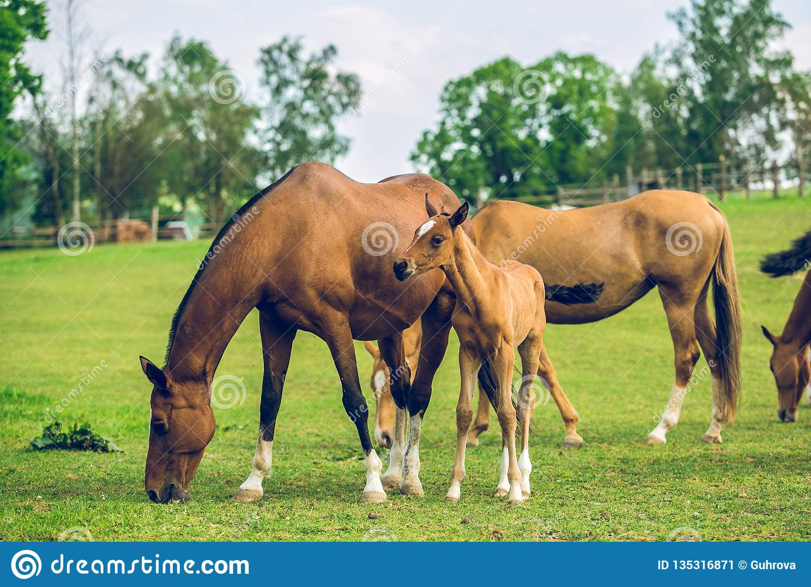 Stado brązów konie pasa w paśniku