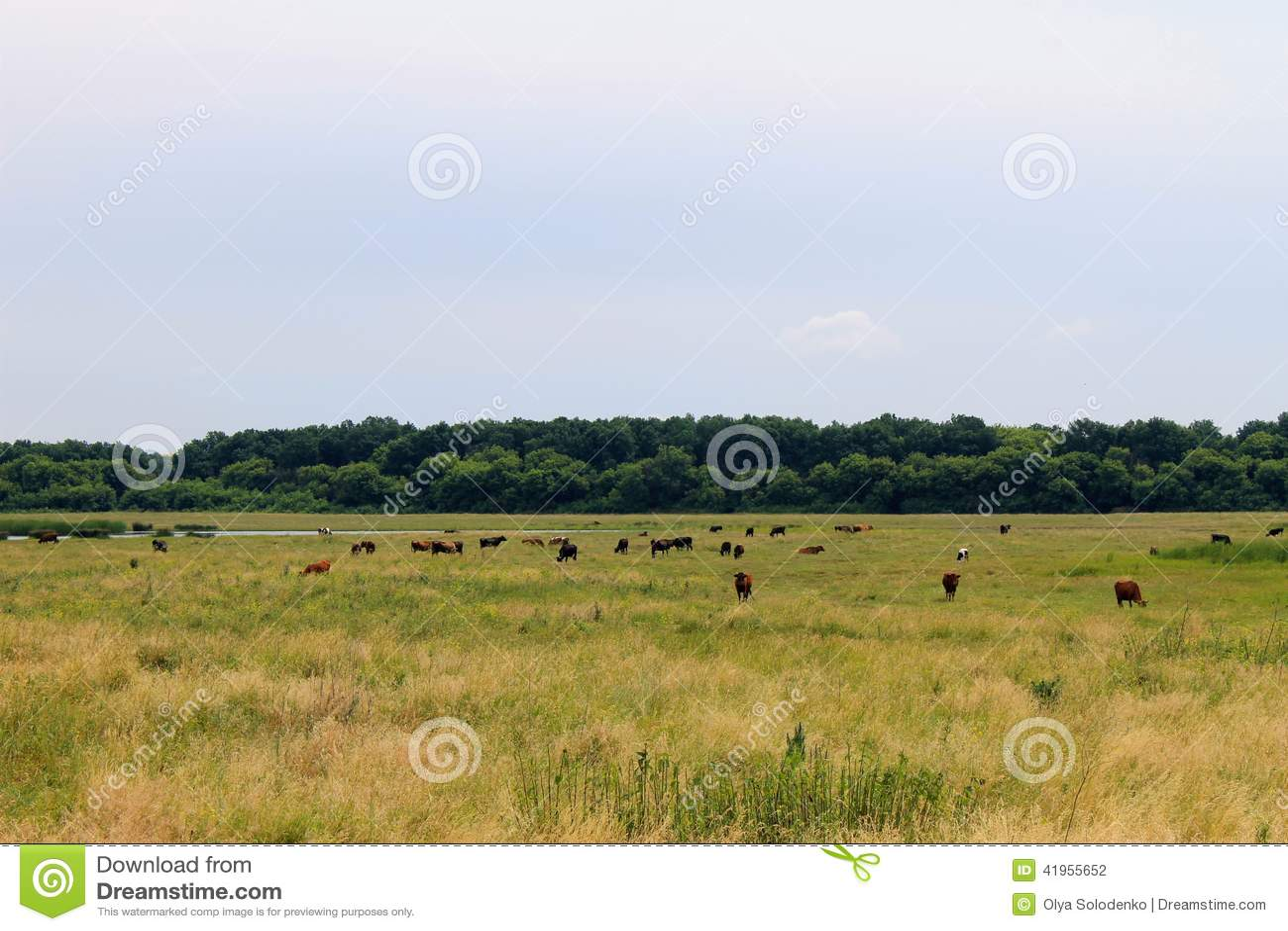 Stado krowy